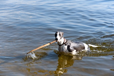 Dog breeds whippe on summer nature, A dog in the water plays with a stick