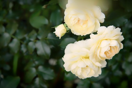 Delicate Rose plant. Beautiful rose grow in garden Stock Photo