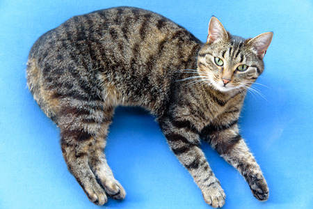 Portrait of green-eyed cat. A tabby cat lies on its side on blue background, looks into the camera