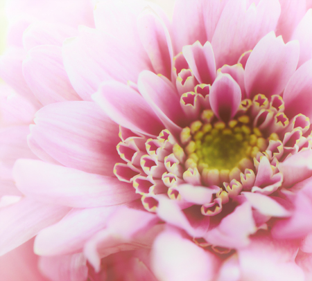 Pink golden-daisy macro. Chrysanthemum rose close up Stock Photo