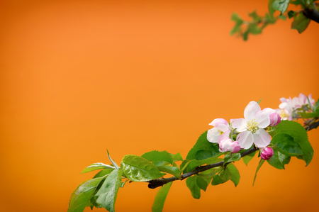Blur spring blossom background. Blurred background with spring blossoming on orange background. Stock Photo
