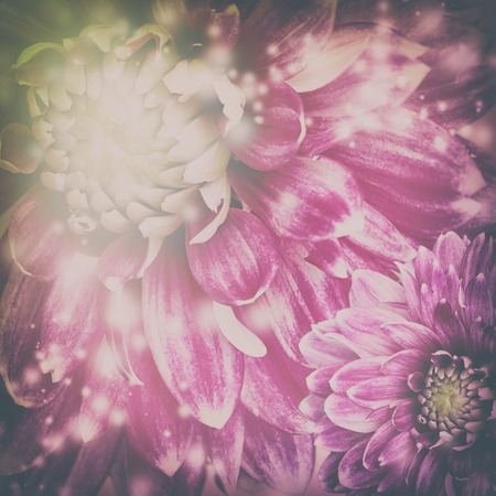 Darck Toned purple flowers background. Photo with pink dahlias, toned dark colored