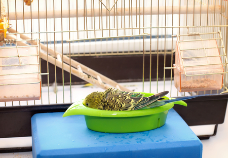 Budgerigar on the bird cage. Funny green budgie parrot takes a bath Stock Photo