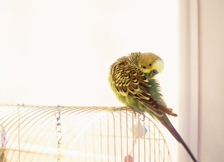 Budgerigar on the bird cage. Funny green budgie parrot cleans feathers