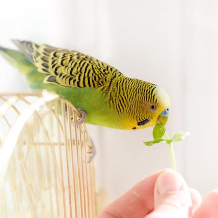 Parrot eats from a human hand fresh green grass. Cute green budgie.