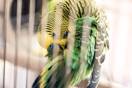 Parrot close up sits in cage and cleans feathers. Cute green budgie in birdcage. Stock Photo