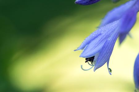 Delicate blue hosta flowers on blur nature green background. Beautiful bell garden flowers. Shallow depth of field. Stock Photo