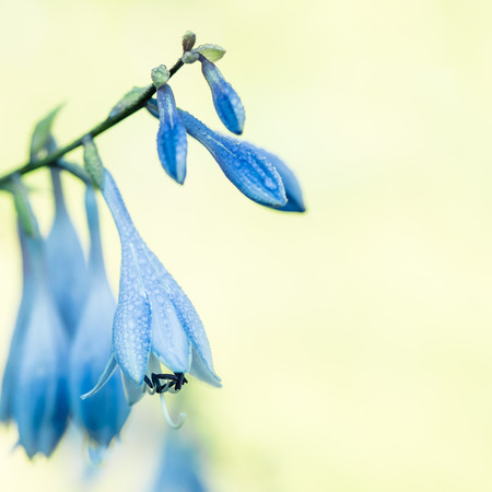 Delicate blue hosta flowers on blur floral green background. Beautiful bell garden flowers. Shallow depth of field. Stock Photo