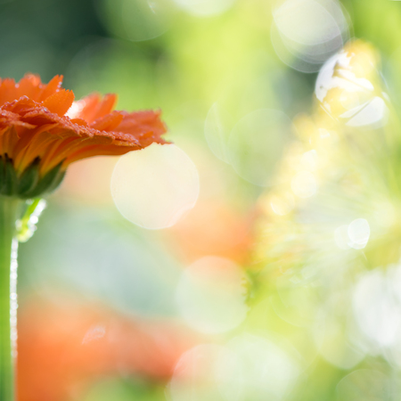Bright blurre bokeh summer background with growing flowers calendula, marigold. 写真素材