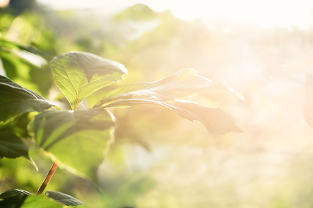 Nature blurred bokeh background. New leaf on branch on spring sunny light  Defocus summer day vintage toned. Springtime concept. Stock Photo