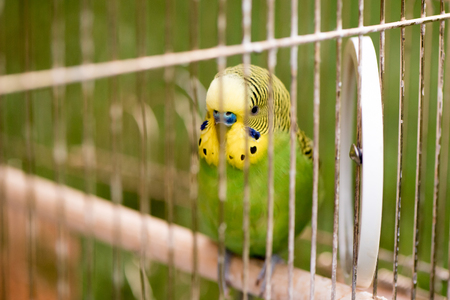 Green budgerigar parrot close up sits on cage near the mirror. Cute green budgie.