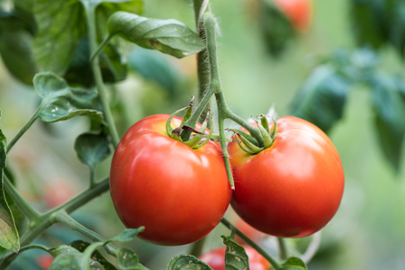 tomato growing in organic farm. Ripe natural tomatoes growing on a branch in a greenhouse. Red Tomatoes Growing on Plant Reklamní fotografie
