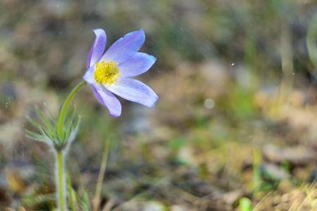 Pulsatilla patens common names include Eastern pasqueflower, prairie crocus, and cutleaf anemone in forest Prairie Crocus. Violet flowers close up. Pasqueflowers. Wild Spring beautiful Flowers Reklamní fotografie