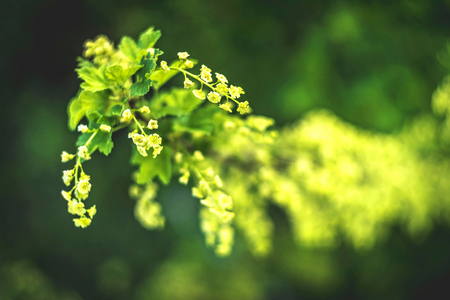 flowering bush of red currant with green leaves in the garden. Blooming currant. Currant Bush with green leaves and flowers. Springtime in garden Imagens