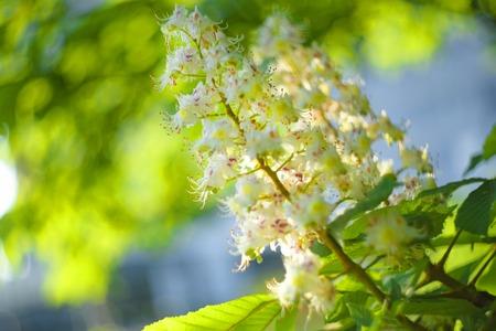 White flowers of chestnut among the green leaf. Chestnut bloom. Castanea sativa. Shallow depth-of-field.