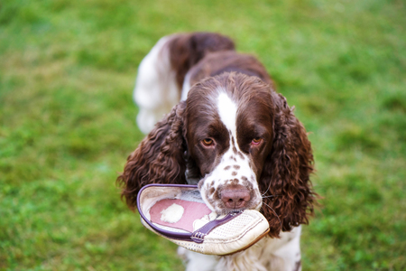 Dog breed English Springer Spaniel walking summer field. Cute pet sits in nature outdoors The dog lies on the grass and plays with the owner's shoe. Dog nibbles on shoes