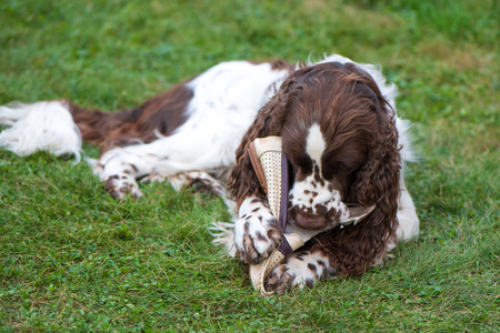 Dog breed English Springer Spaniel walking summer outdoors. Cute pet funny lies on the grass and plays with the owners shoe. Dog nibbles on shoes
