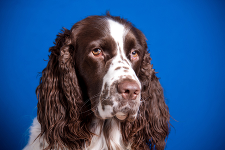 Portrait of a beautiful young dog breed English Springer Spaniel on a blue background. Muzzle close-up, expressive look into the camera. Reklamní fotografie