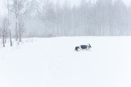 Happy springer spaniel dog running in winter nature. Funny dor playing in snow on winter