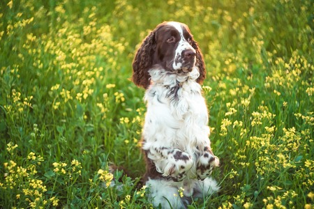 Dog breed English Springer Spaniel walking in summer wild yellow flowers field. Cute pet sits in nature outdoors on evening sunlight