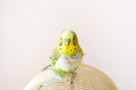 Loro periquito doméstico, aves de corral con un problema de salud después de la muda. Un periquito verde con el pecho desplumado, sin plumas.