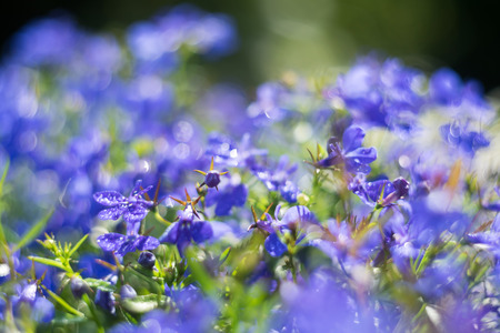 Blue Trailing Lobelia Sapphire flowers or Edging Lobelia. Its Latin name is Lobel. Lobelia erinus in summer garden.