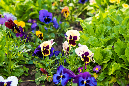 Beautiful Pansies or Violas growing on the flowerbed in garden. Heartsease, flower garden - close-up Stok Fotoğraf
