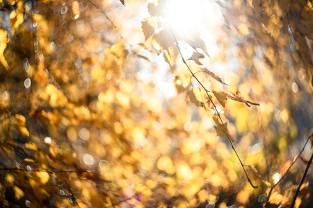 Autumn golden leaves with blurred on sky. Fall defocused background. Sunrise in mystical autumn forest.