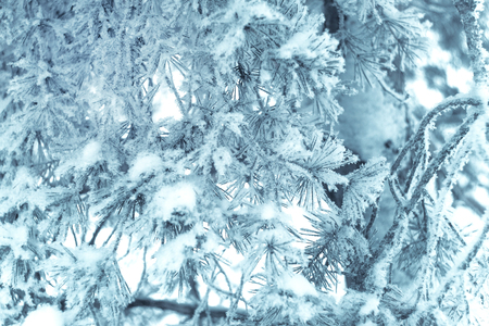 Closeup of pine tree branch in the snow. Beautiful winter nature background. Soft selective focus. Vintage blue toned photo.