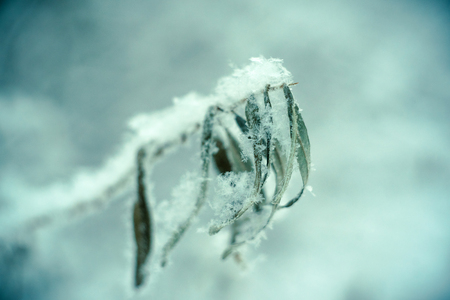 Closeup of grass in the snowflake. Beautiful winter nature background. Soft selective focus. Vintage toned photo. 写真素材