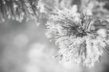 Closeup of pine tree branch in the snow. Beautiful winter nature background. Soft selective focus. Black and white 写真素材