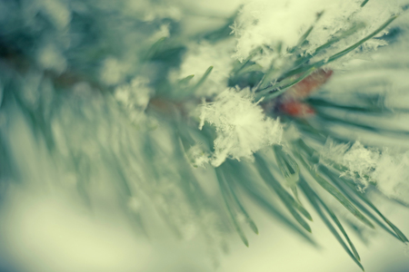 Closeup of pine tree branch in the snow. Beautiful blurred winter nature background. Soft selective focus or defocused. Vintage toned photo.