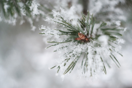 Closeup of pine tree branch in the snow. Beautiful winter nature background. Soft selective focus. Vintage toned photo. 写真素材