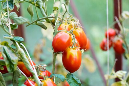 tomato growing in organic farm. Ripe natural tomatoes growing on a branch in a greenhouse. Red Tomatoes Growing on Plant Stockfoto