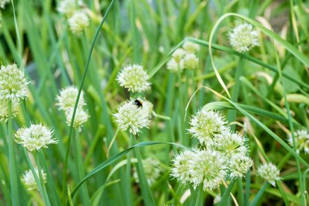 Bumblebee on Spring Onion. Red-tailed black bumblebee collecting pollen from spring onion flowers
