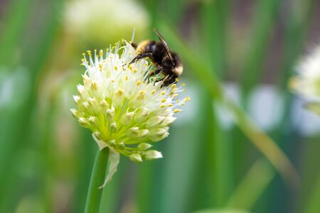 Bumblebee on Spring Onion. Red-tailed black bumblebee collecting pollen from spring onion flower