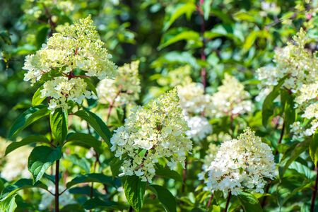 A Delicate white Hydrangea flowers on blur nature green background. Beautiful garden flowers. Shallow depth of field.