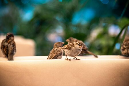 Bird In City. .Sparrows sit on a chair in a summer cafe. habby sparrow an outdoor cafe on a table, close up