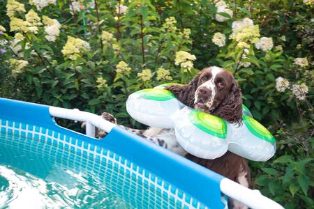 Dog breed English springer spaniel with swimming ring afraid and looks into the pool in garden