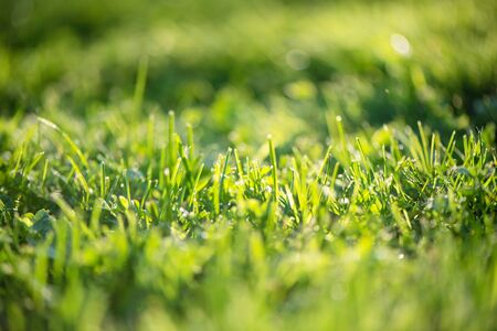 Green grass in drops of dew. Green grass and drops of morning fresh dew. Natural natural background. Green lawn early in the morning