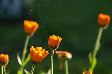 Bright summer background with growing orange flowers calendula, marigold. Selective focus, blurred nature green background. 版權商用圖片