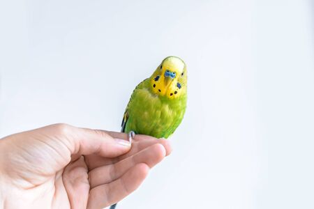 Funny budgerigar. Cute green budgie parrot sits on a finger and looking at the camera. Funny tamed pet communicates with a man Stock fotó - 130339649