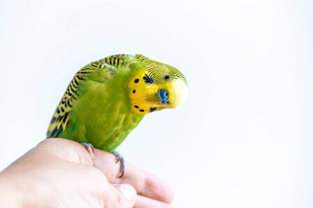Funny budgerigar. Cute green budgie parrot sits on a finger and looking at the camera. Funny tamed pet communicates with a man