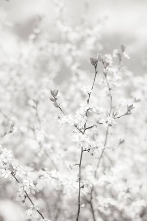 Frühlingsblütenblumenhintergrund, Kirschbaumzweig in der Blüte. Zarte weiße Blüten und kleine junge Blätter. Vertikales Schwarz-Weiß-Bild, weicher selektiver Fokus.