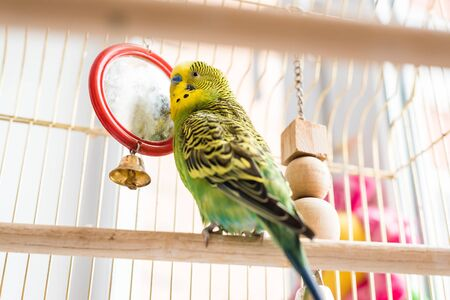 Funny budgerigar. Cute green budgie pa parrot sits in a cage and plays with a mirror. Funny tamed pet bird and her toys Stock fotó - 130339515