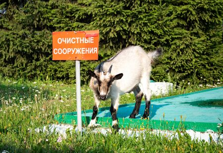 Curious goats are standing on the sewer wells, next to the sign Treatment facilities in Russian.