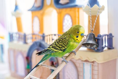 Funny budgerigar. Cute green budgie a parrot sits on a wooden stairs near a toy castle and plays with a bell. Pet bird and its toys
