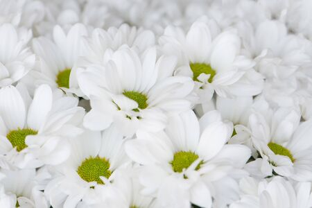 Background of white flowers. Beautiful bouquet of chrysanthemums. Nature Stock Photo