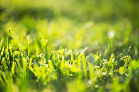 Green grass in drops of early morning fresh dew on field. Natural summer meadow background. Green lawn ecosystems. Selective soft focus. Springtime freshness concept Stockfoto