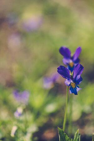 Wild different colored blue pansies on spring meadow Zdjęcie Seryjne